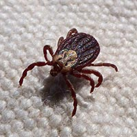 Dark brown tick on carpet - up close image
