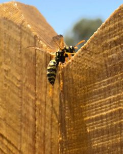 Wasp up close on fence